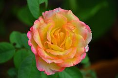 Vue supérieure de fleur rose très douce Photos libres de droits