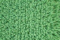 Vue supérieure de graine de colza de champ vert d'agriculture rapeseed photographie stock
