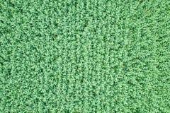 Vue supérieure de graine de colza de champ vert d'agriculture rapeseed images libres de droits
