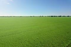 Vue supérieure de graine de colza de champ vert d'agriculture rapeseed images stock