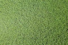 Vue supérieure de graine de colza de champ vert d'agriculture rapeseed photo libre de droits