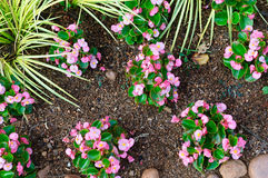 Vue supérieure de jeunes usines roses de bégonia Photos stock