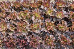 Vue supérieure de laitue fraîche de salade photo libre de droits