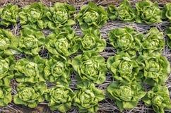 Vue supérieure de laitue fraîche de salade image libre de droits
