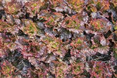 Vue supérieure de laitue fraîche de salade photos libres de droits