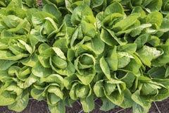 Vue supérieure de laitue fraîche de salade images stock