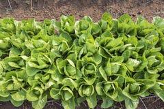 Vue supérieure de laitue fraîche de salade photographie stock