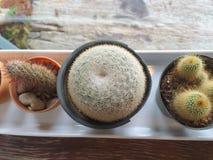 Vue supérieure de petit cactus dans le vase du plat blanc Photos stock