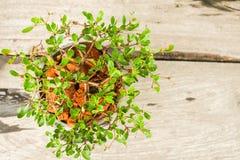 Vue supérieure de plante verte de petit pot Image libre de droits