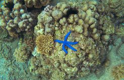 Vue supérieure de récif coralien et d'étoiles de mer bleues Étoiles de mer sur la photo sous-marine de bord de mer Images stock
