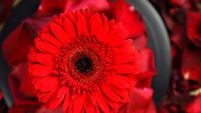 Vue supérieure de rotation rouge de fleur de Gerbera sous des pétales Beau plan rapproché rouge foncé de gerbera banque de vidéos