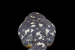 Vue supérieure de serpent de vipère de mine de wagleri de Tropidolaemus Photographie stock libre de droits