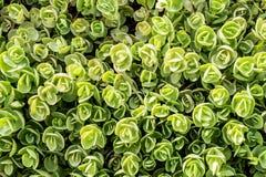 Vue supérieure de tetractinum de sedum, également connue sous le nom de Coral Reef, employé souvent succulent éternel en tant que photos libres de droits