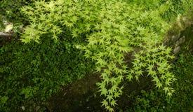 Vue supérieure des feuilles d'érable image libre de droits