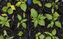 Vue supérieure des jeunes plantes d'usine de poivre Images stock