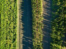 Vue supérieure des rangées d'élever de jeunes arbres Concept écologique Photo stock