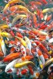 Vue supérieure des symboles de fantaisie colorés de poissons de carpe de Koi de la bonne chance Images libres de droits