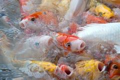 Vue supérieure des symboles de fantaisie colorés de poissons de carpe de Koi de la bonne chance Photos stock