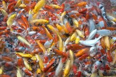 Vue supérieure des symboles de fantaisie colorés de poissons de carpe de Koi de la bonne chance Photo stock