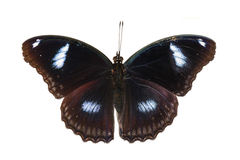 Vue supérieure du grand eggfly papillon masculin Image stock