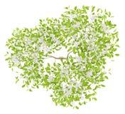 Vue supérieure du poirier fleurissant d'isolement sur le blanc Image libre de droits