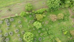 Vue sup?rieure impressionnante au-dessus de campagne avec les arbres fruitiers et les moutons de p?turage clips vidéos