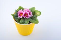 Vue supérieure Primevère rose dans le pot en plastique jaune sur le fond blanc Photographie stock