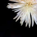 Vue supérieure sur le chrysanthème blanc magnifique sur un backgroun noir Photo libre de droits