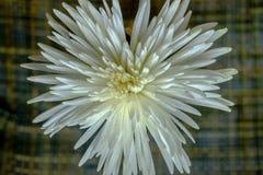Vue supérieure sur le chrysanthème blanc magnifique sur un backgroun noir Photographie stock