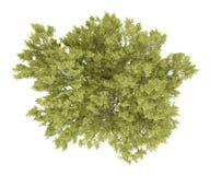 Vue supérieure d'arbre de hêtre commun sur le blanc Image stock