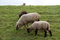 Vue sur la gramin?e fourrag?re de trois moutons dans l'emsland Allemagne du rhede SME images stock