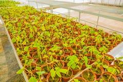 Vue sur le grand ensemble de pots avec des jeunes plantes dedans photographie stock