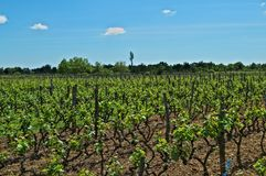 Vue sur le vignoble en Dalmatie au soleil de ressort image stock
