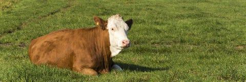 Vue sur un bel exemple d'une vache néerlandaise à blaarkop photos libres de droits