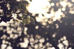 vue sur une branche avec des feuilles d'un limettier à la lumière du soleil lumineuse devant le feuillage brouillé photo stock
