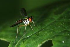 Vue transversale - longue mouche à jambes Photo libre de droits