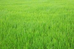 Vue verte de gisement de riz non-décortiqué Photo libre de droits