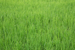 Vue verte de gisement de riz non-décortiqué Image libre de droits