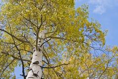 Vue verticale d'arbre d'Aspen Images libres de droits