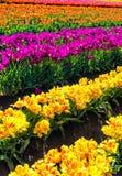 Vue verticale de Tulip Field Photos libres de droits