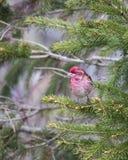 Vue verticale du pinson pourpre masculin minuscule vu dans le profil été perché sur une branche d'arbre conifére image libre de droits
