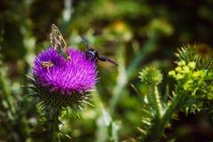 vuele de la flor para florecer y para recoger el polen raro Fotos de archivo