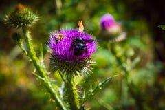 vuele de la flor para florecer y para recoger el polen raro Fotografía de archivo