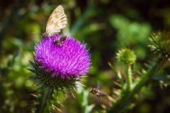 vuele de la flor para florecer y para recoger el polen raro Fotografía de archivo libre de regalías
