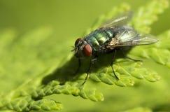 Vuele el animal, mosca de la casa que come los plátanos, mosca de los vinagre madura Foto de archivo libre de regalías