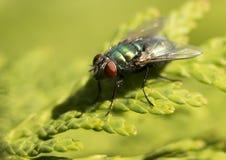 Vuele el animal, mosca de la casa que come los plátanos, mosca de los vinagre madura Foto de archivo