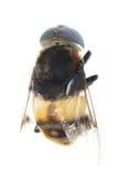 Vuele el insecto de la abeja aislado Imagen de archivo libre de regalías
