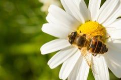 Vuele el néctar de consumición en una flor blanca salvaje Fotografía de archivo libre de regalías