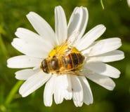 Vuele el néctar de consumición en una flor blanca salvaje Foto de archivo