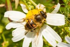 Vuele el néctar de consumición en una flor blanca salvaje Fotos de archivo